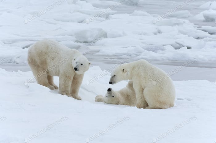 Eisbären in freier Wildbahn. Ein mächtiges Raubtier und eine gefährdete oder potenziell gefährdete Spezies.