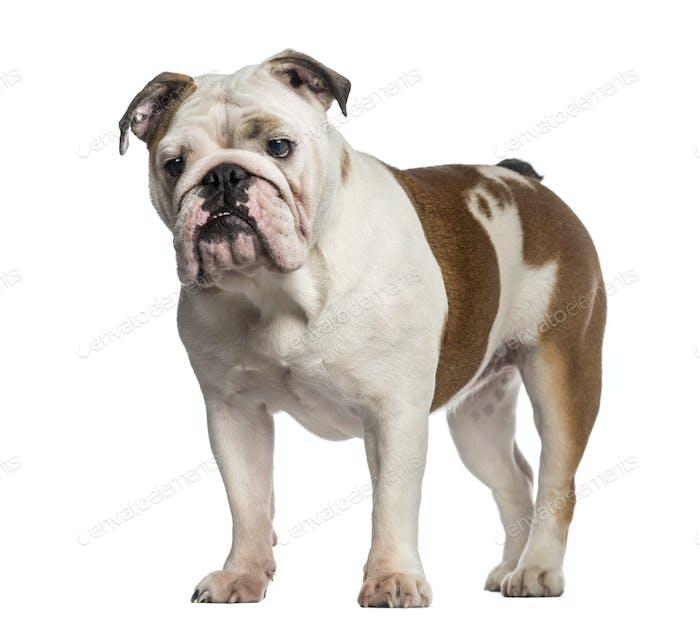 English Bulldog standing (8 months old)