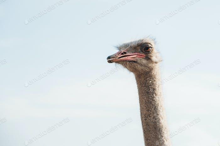 Curious ostrich head