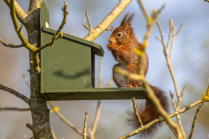 Red squirrel eating on feeder