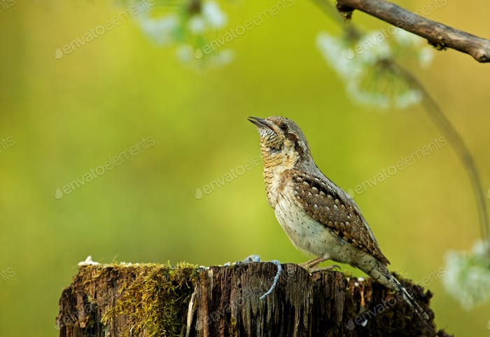 Wryneck  (Jynx torquilla) on a tree trunk