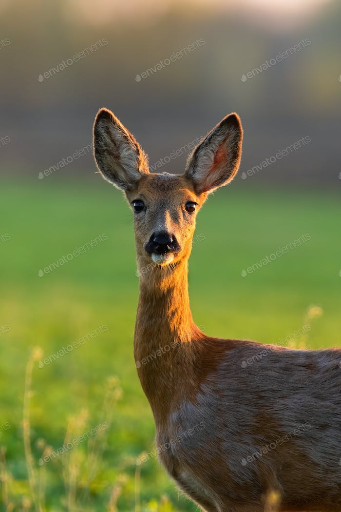 Roe deer standing on glade in sunlight from close up