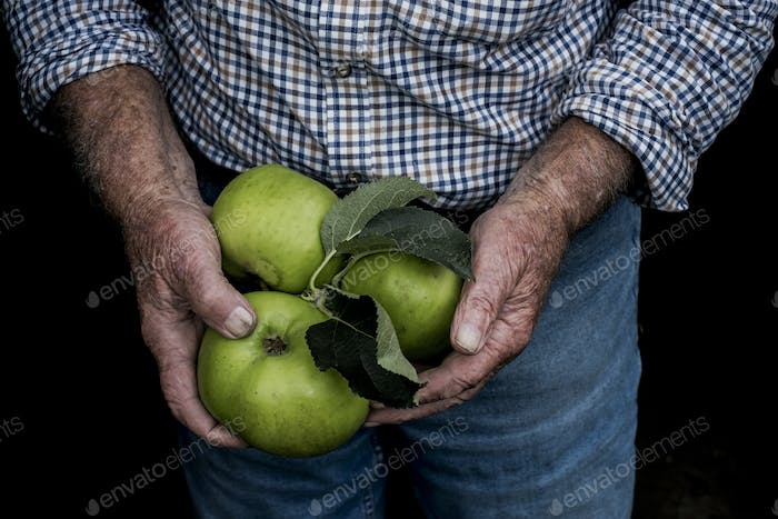 Close up of man holding three large green Bramley Apples.