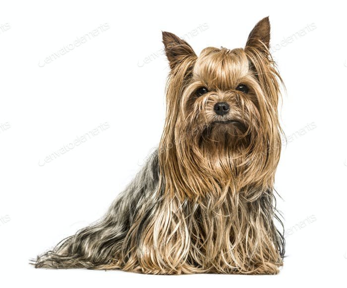 Yorkshire terrier stting, isolated on white