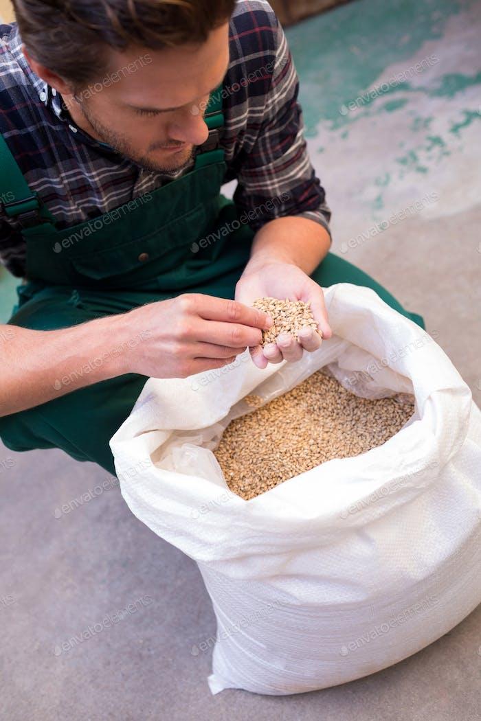 High angle view of worker examining barley
