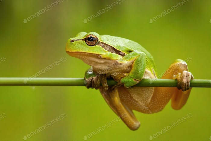 Struggling european tree frog holding on grass blade in wetland