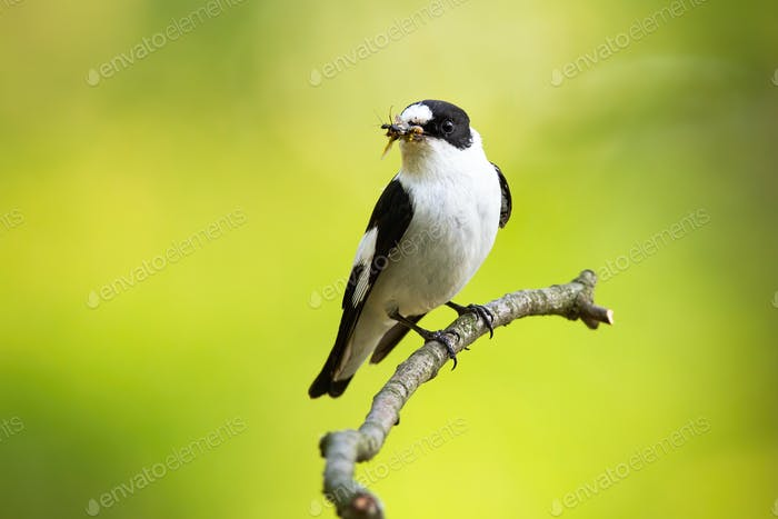 Adult european pied flycatcher perched on the thin twig with insect in the beak