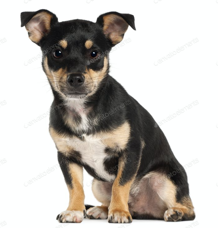 Miniature Pinscher, 9 months old, sitting in front of white background