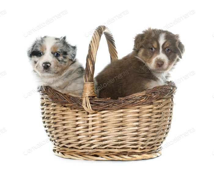 puppies australian shepherds