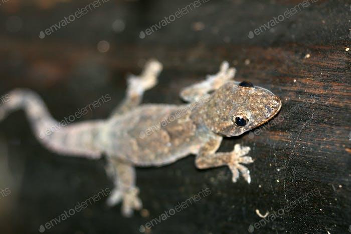 Gecko, Uganda, Africa