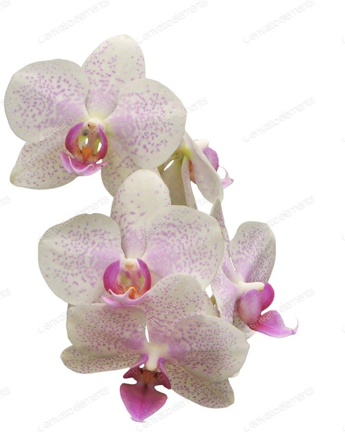Phalaenopsis hybird