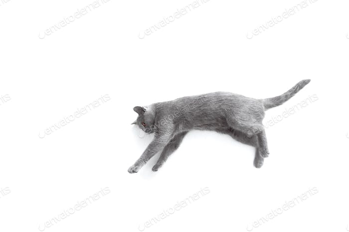 Gray cat playing and jumps on white background