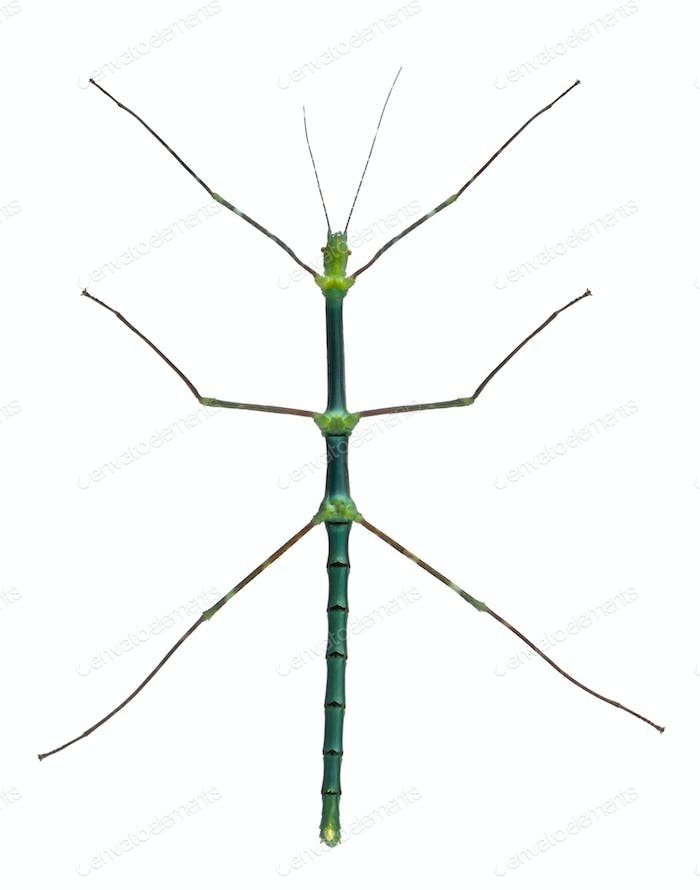 Myronides Sp, stick insect, in front of white background