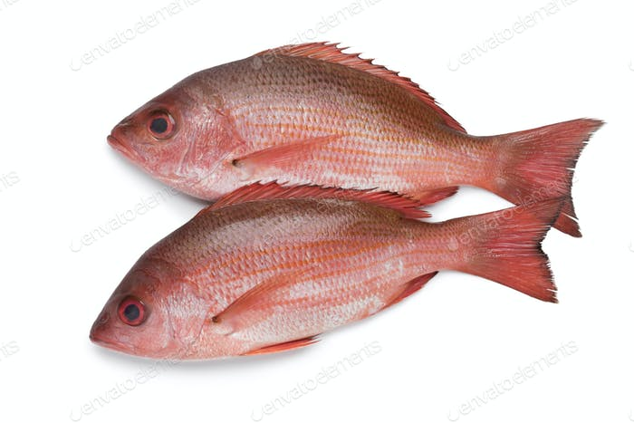 Two Northern red snappers