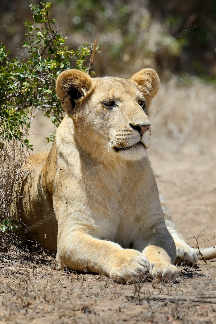Lion in National park of Kenya, Africa