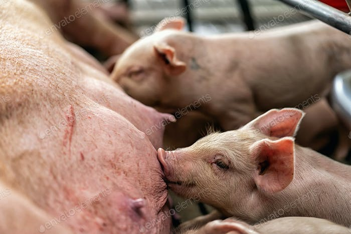 Closeup baby pig sucking mother pig in hog farms, animal and Pig industry