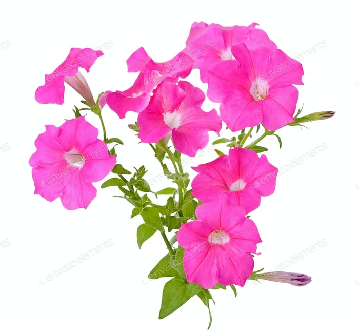 Pink petunia flowers on white background