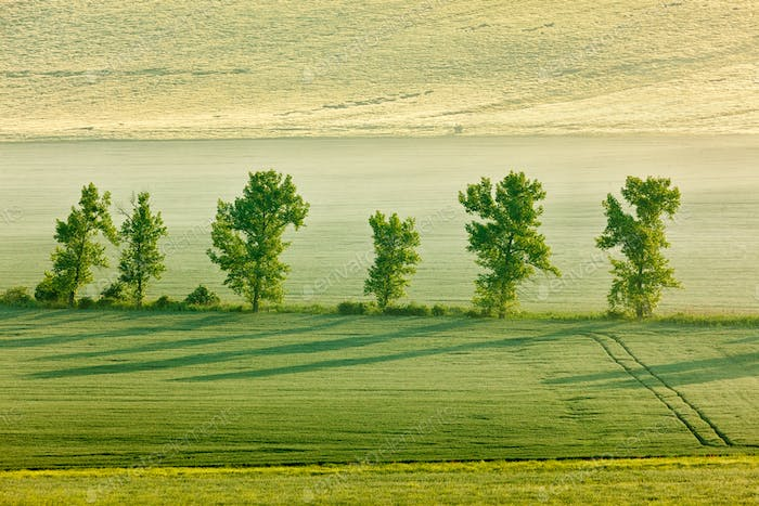 Moravian rolling landscape with trees in morning