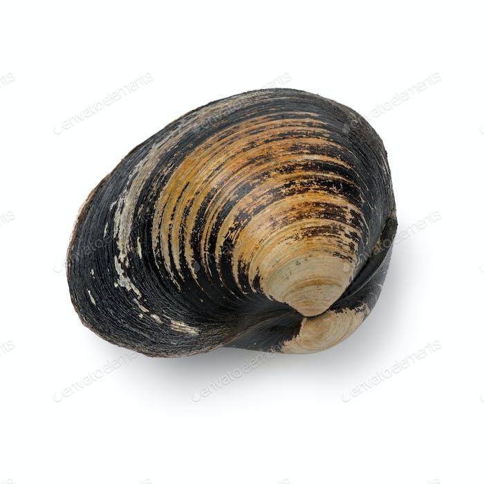 Einzelne frische rohe Spisula Solida, Surf-Muschel