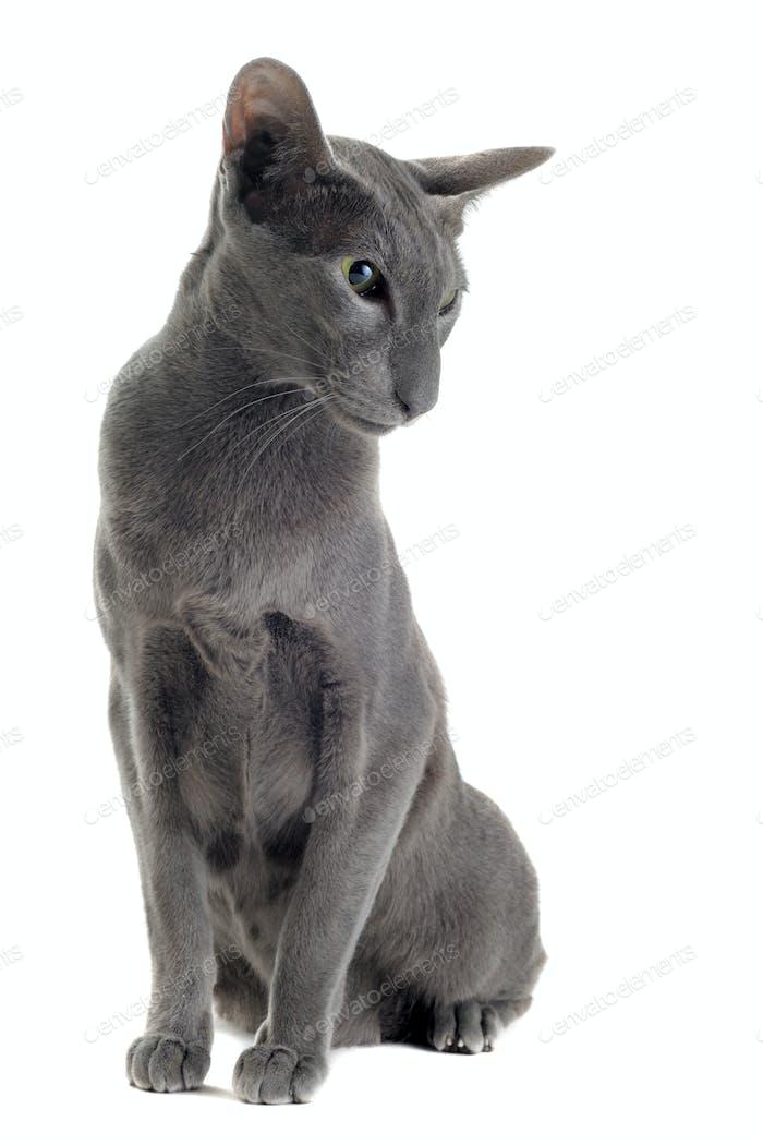 gray oriental cat