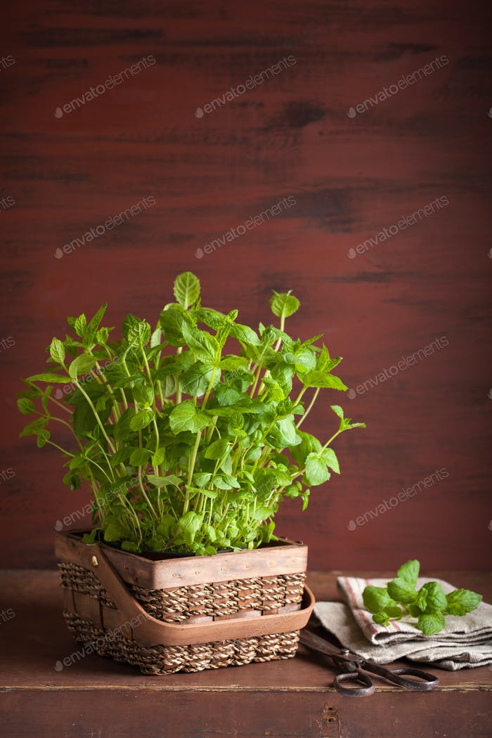 fresh mint Peppermint herb in a pot