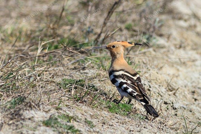 Eurasian Hoopoe bird