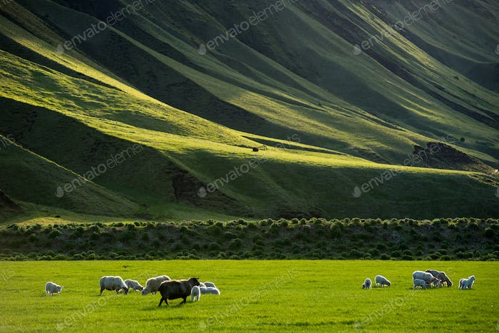 Icelandic landscape with vibrant green hills and countryside grazing sheep in the highlands, Iceland