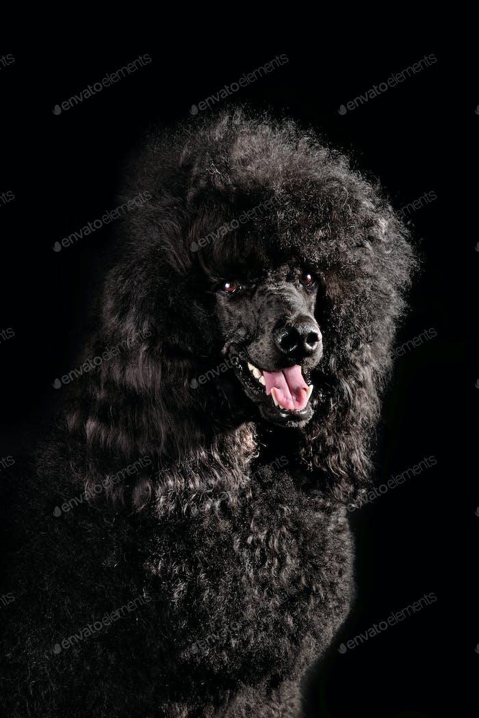Portrait of black poodle