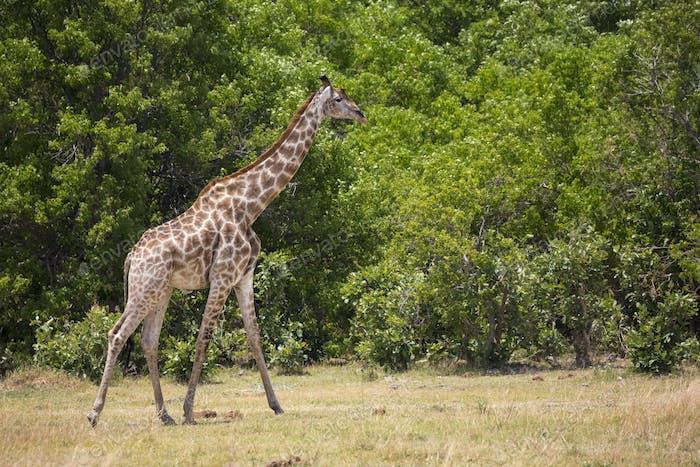Giraffe, Moremi Reserve, Botswana