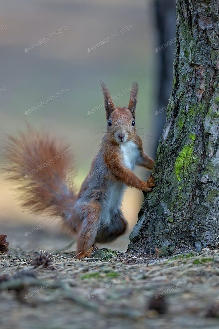 Rotes Eichhörnchen im Wald