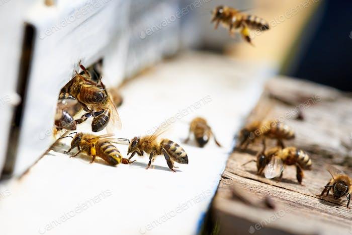 Worker honey bees