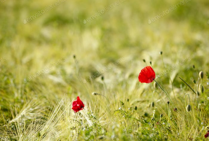 Rye Field With Red Poppies