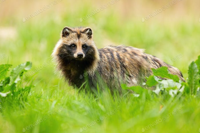 Shy raccoon dog looking away on a meadow in summertime