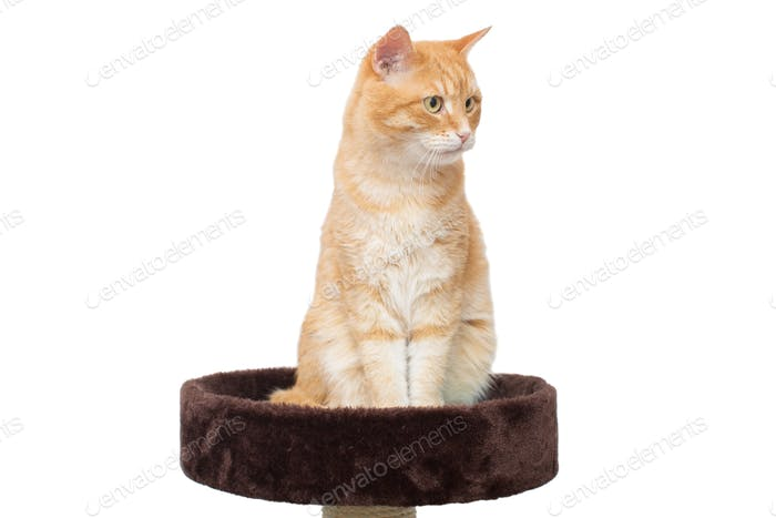 Red, serious cat sitting on scratching posts