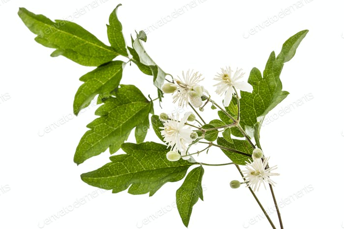 Flowers and leafs of Clematis , lat. Clematis vitalba L., isolat
