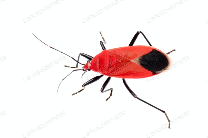 Thumbnail for red stink bug, Melamphaus rubrocinctus