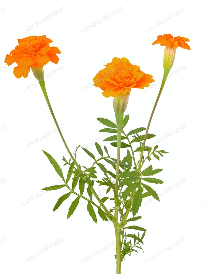 Tagetes flowers isolated on white background