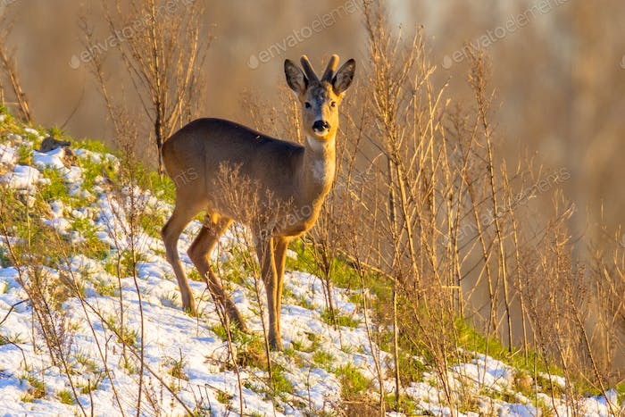 Roe deer on snowy hillside