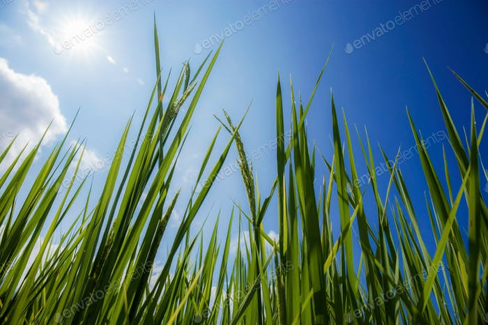 Green rice leaves with blue sky