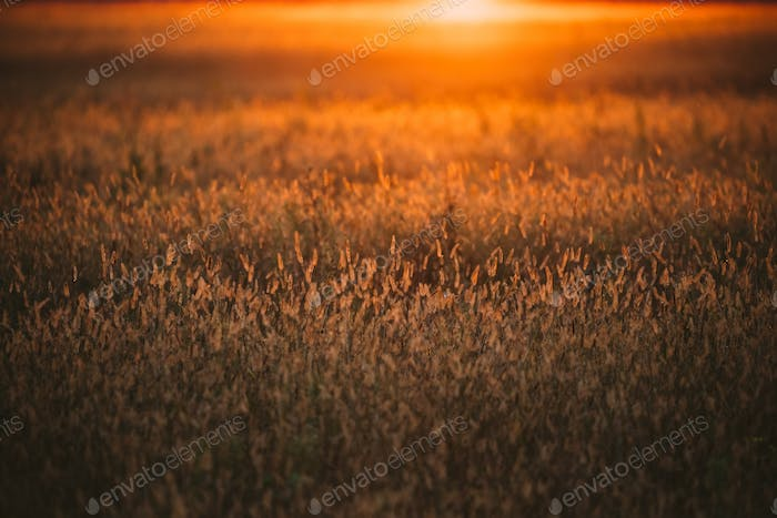 Grass In Yellow Sunlight And Bokeh, Boke Background. Later Summe