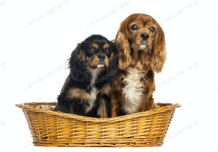 Two Cavalier King Charles Spaniel, 11 years and 6 months old, in a wicker basket, isolated on white