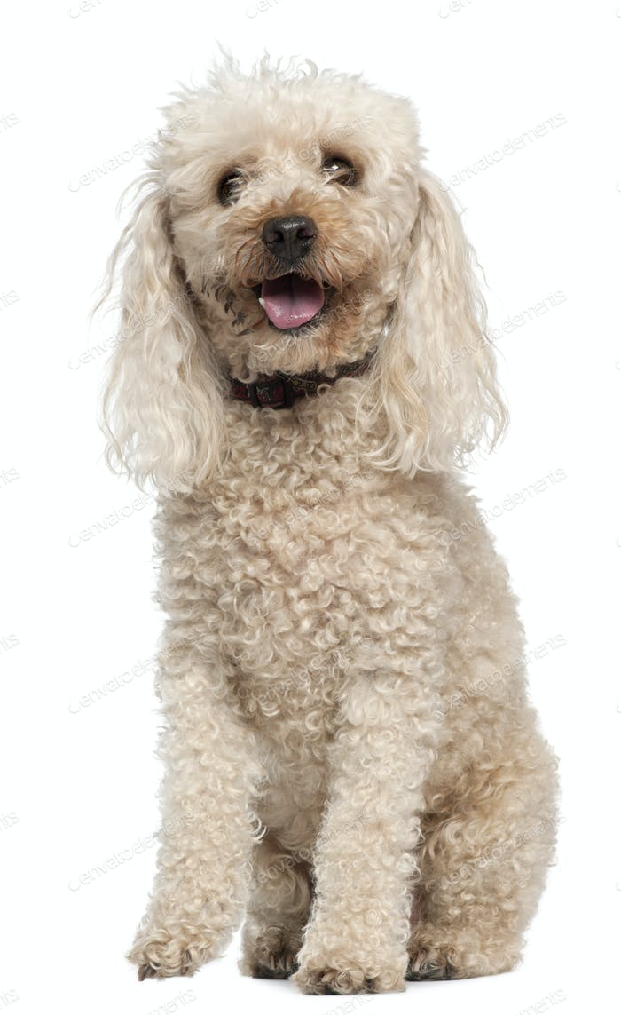 Poodle, 13 years old, sitting in front of white background