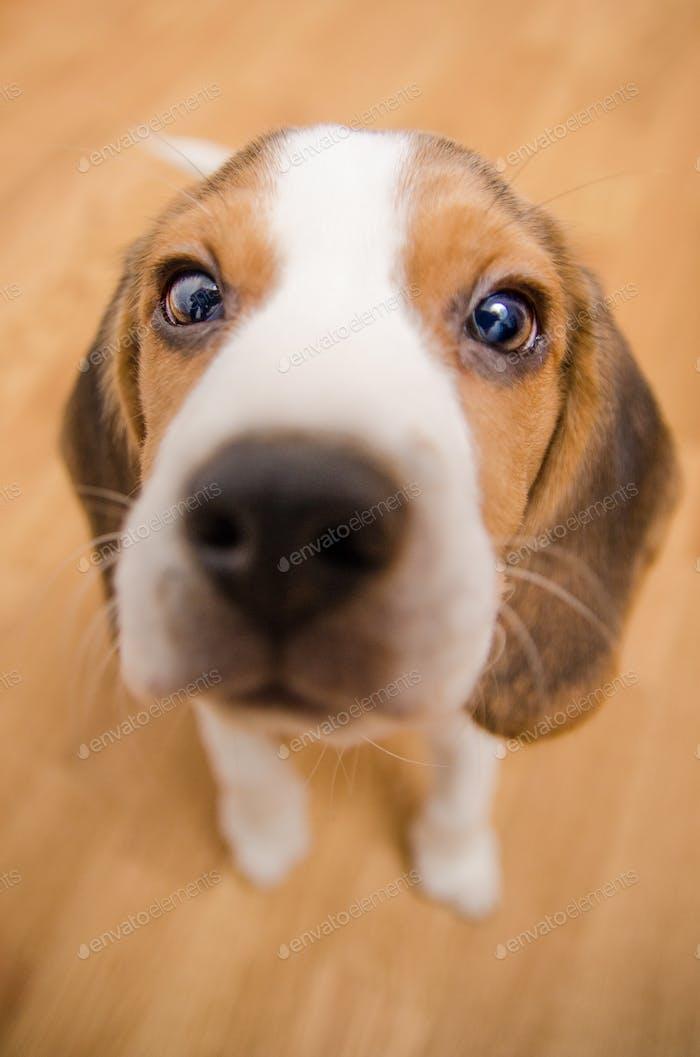 Beagle Hund niedliche Augen Nahaufnahme Weitwinkel