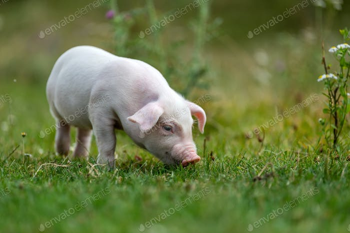 Young funny pig on a green grass