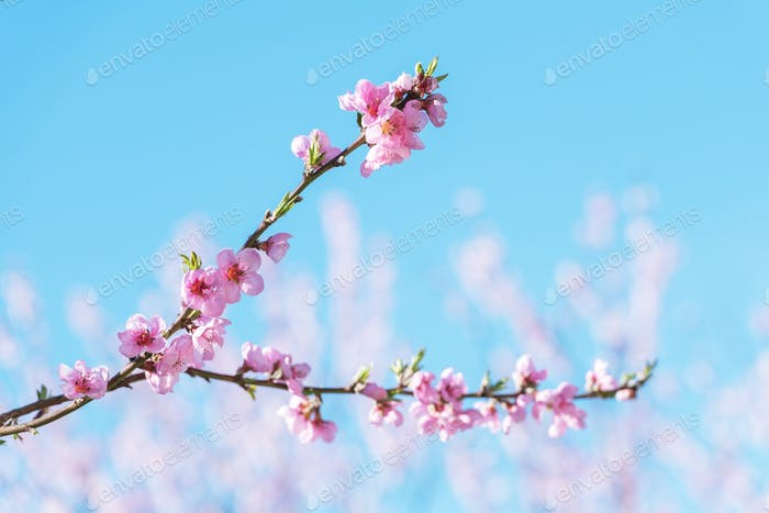 Pink peach flowers on twigs on blue sky background