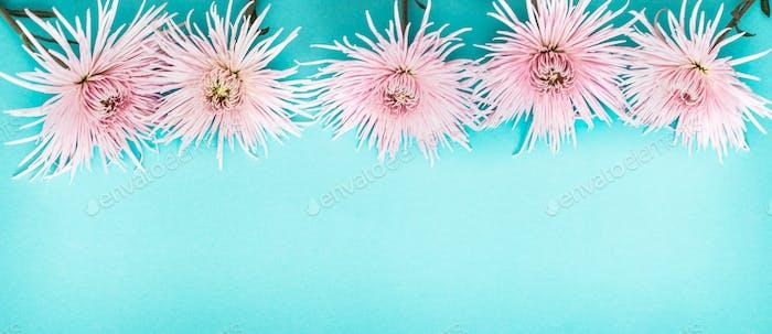 pink real beautiful chrysanthemum on blue background