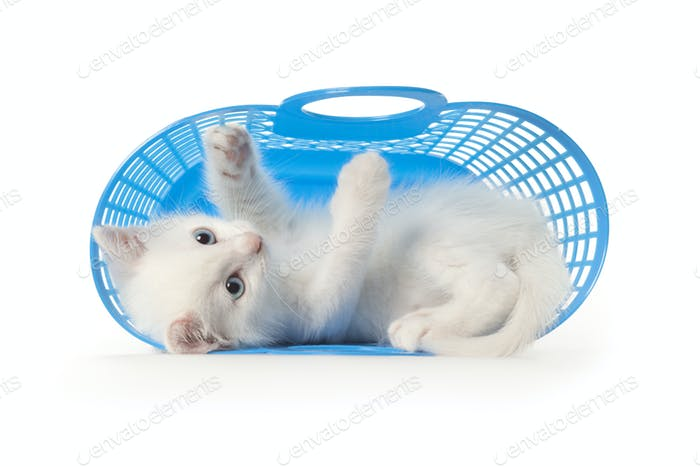 Cute white kitten with blue eyes playing in a blue plastic bask