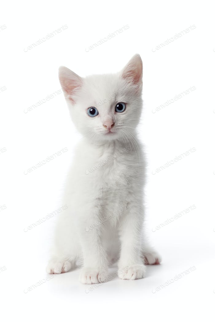Cute white kitten with blue eyes