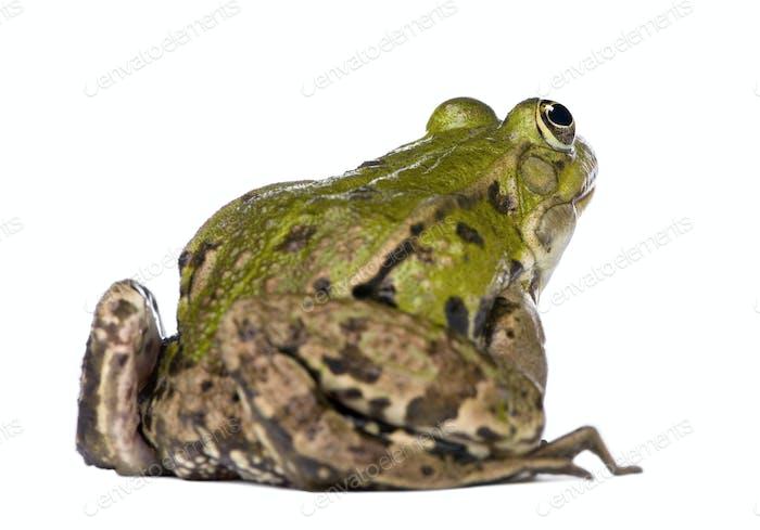 Back view of a Edible Frog - Rana esculenta
