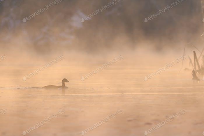 eurasian coot in sunrise